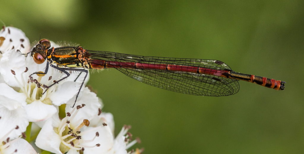 Mursen Fawr Goch (Pyrrhosoma Nymphula)