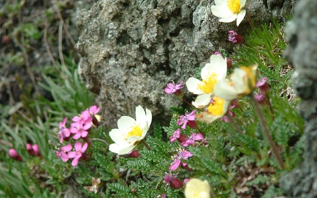 Derrig (blodyn gwyn) (Dryas octopetala)