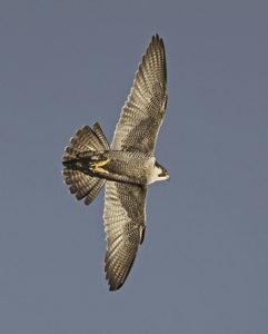 Hebog Tramor - Falco Peregrinus